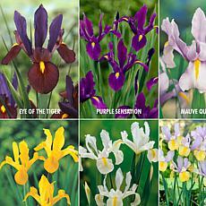 VanZyverden Dutch Iris Lover's Collection 60pc Set
