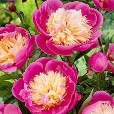 VanZyverden Peonies Bowl Of Beauty 6-piece Root Set
