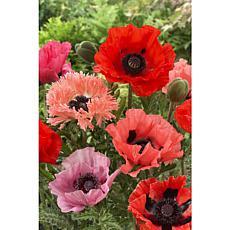 VanZyverden Poppies 2 Varieties 10-piece Root Set