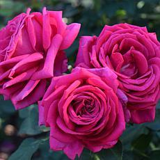 VanZyverden Roses Miranda Lambert™ - 1 Root Stock