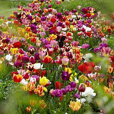 VanZyverden Tulips Economy Medley of Varieties 50-piece Bulb Set