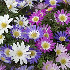 VanZyverden Wind Flowers Anemone Blanda 75-piece Mixed Bulb Set