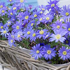 Wind Flowers Anemone Blue Shades Set of 75 Bulbs
