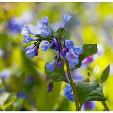 Woodland Plant Virginia Blue Bells Set of 3 Roots