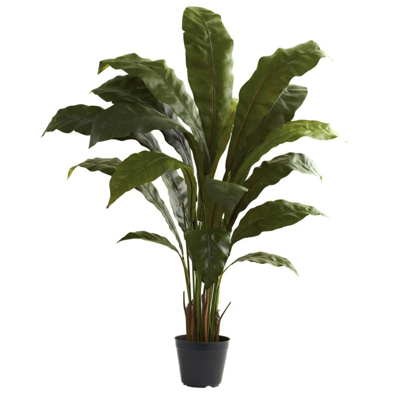 3.5 Ft. Birdsnest Plant
