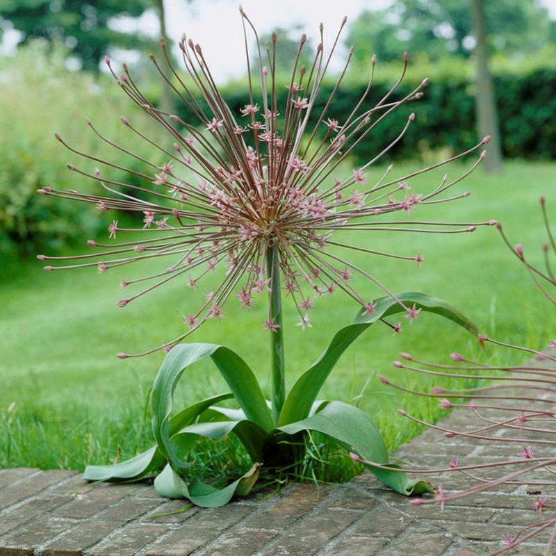 Allium Schubertii Set of 3 Bulbs