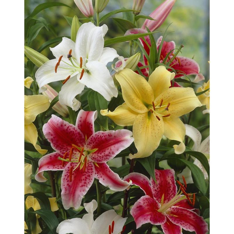 Lilies Oriental Fragrant Blend Set of 9 Bulbs