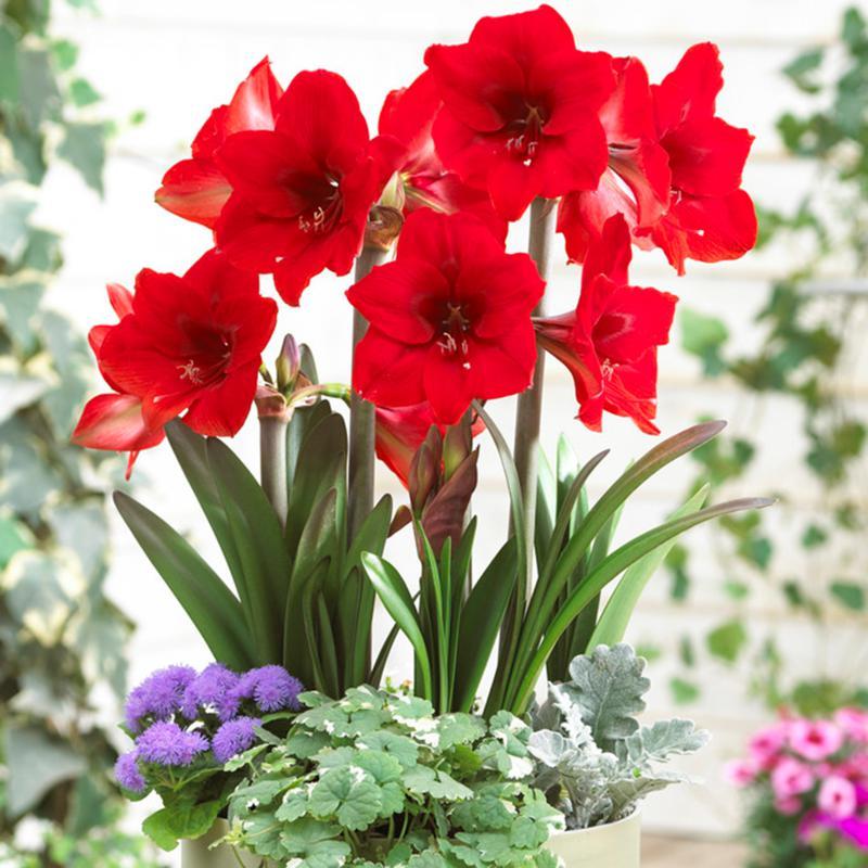 Multi-Flowering Amaryllis Rapido Set of 1 Bulb
